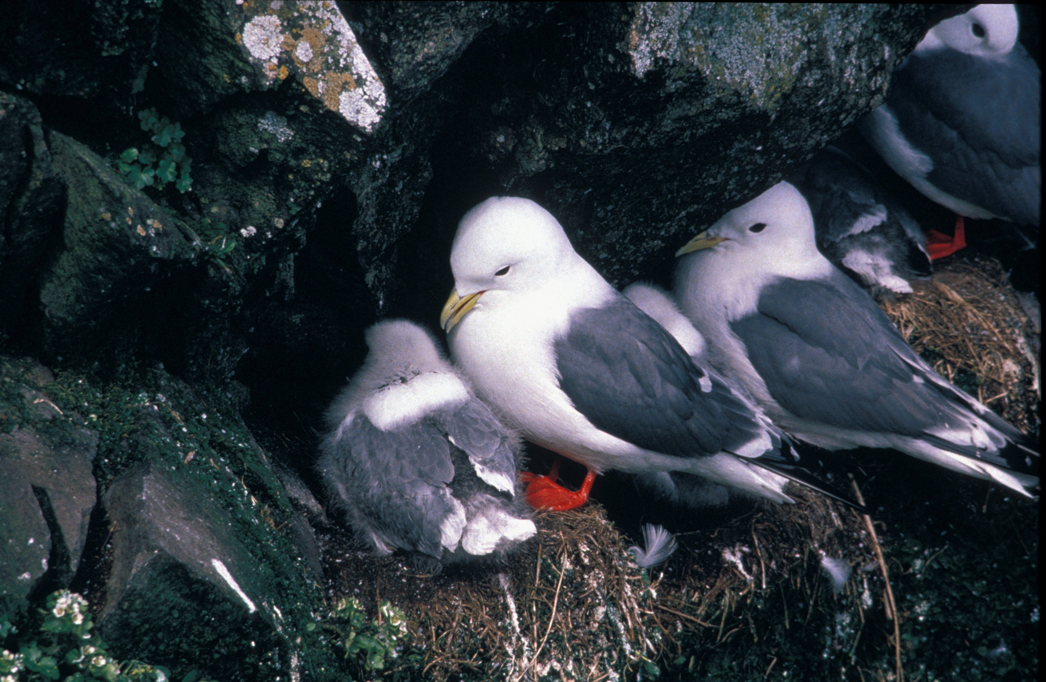 Red Legged Kittiwake Nest
